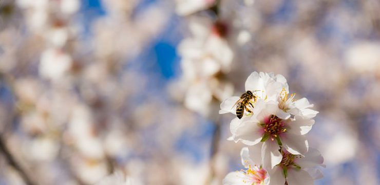 bee-in-almond-blossom.jpg