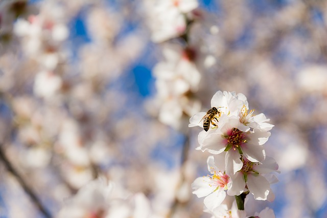 bee foraging almond blossoms