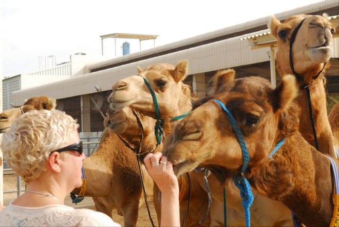 Camels for milk, Dubai