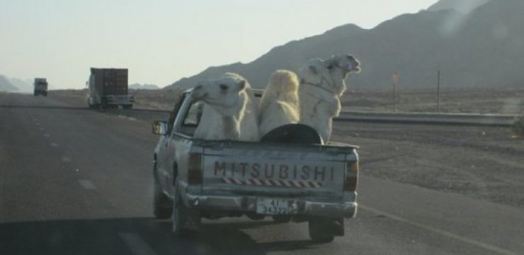camels-in-car-saudi-arabia.jpg