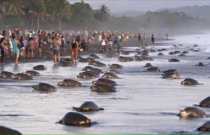 costa rica sea turtles dangerous people