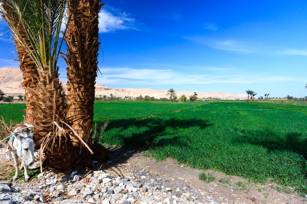cultivated field near Luxor
