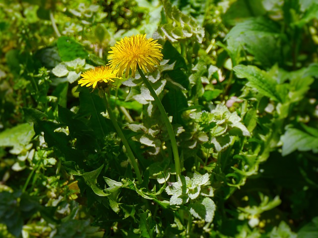 dandelions prebiotic food