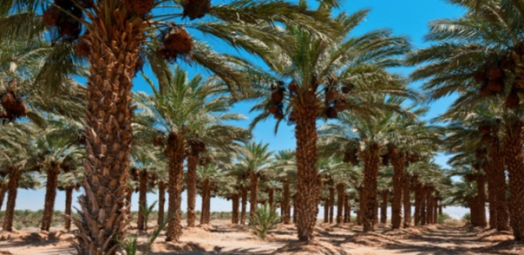 date-palms-expo-2020-hydroponics.png