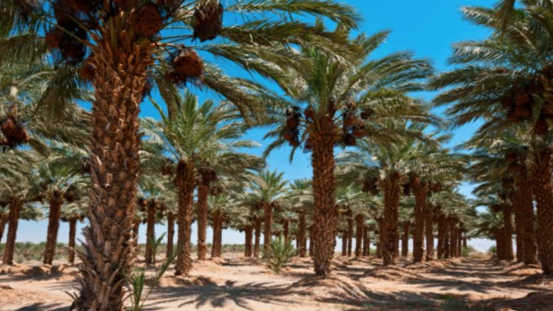 United Nations director proposes hydroponics to solve date palm oil problem