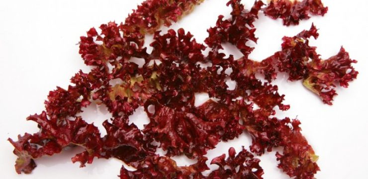 dulse-seaweed-tastes-like-bacon.jpg