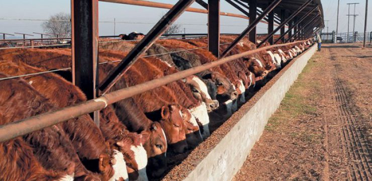 feedlot-cattle-e1475591004336.jpg