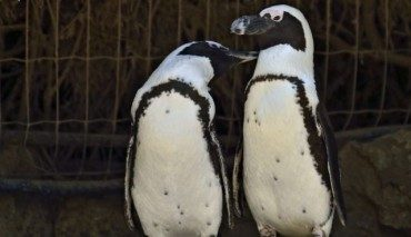 """Lesbian penguins """"out"""" at the Israeli zoo"""