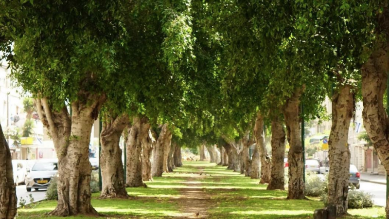 Cutting down ancient trees to make way for Jaffa's eco-train