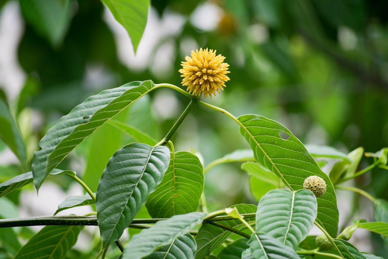 Kratom plant and flower growing in Thailand