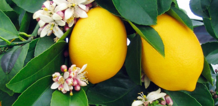 lemon-tree.jpg