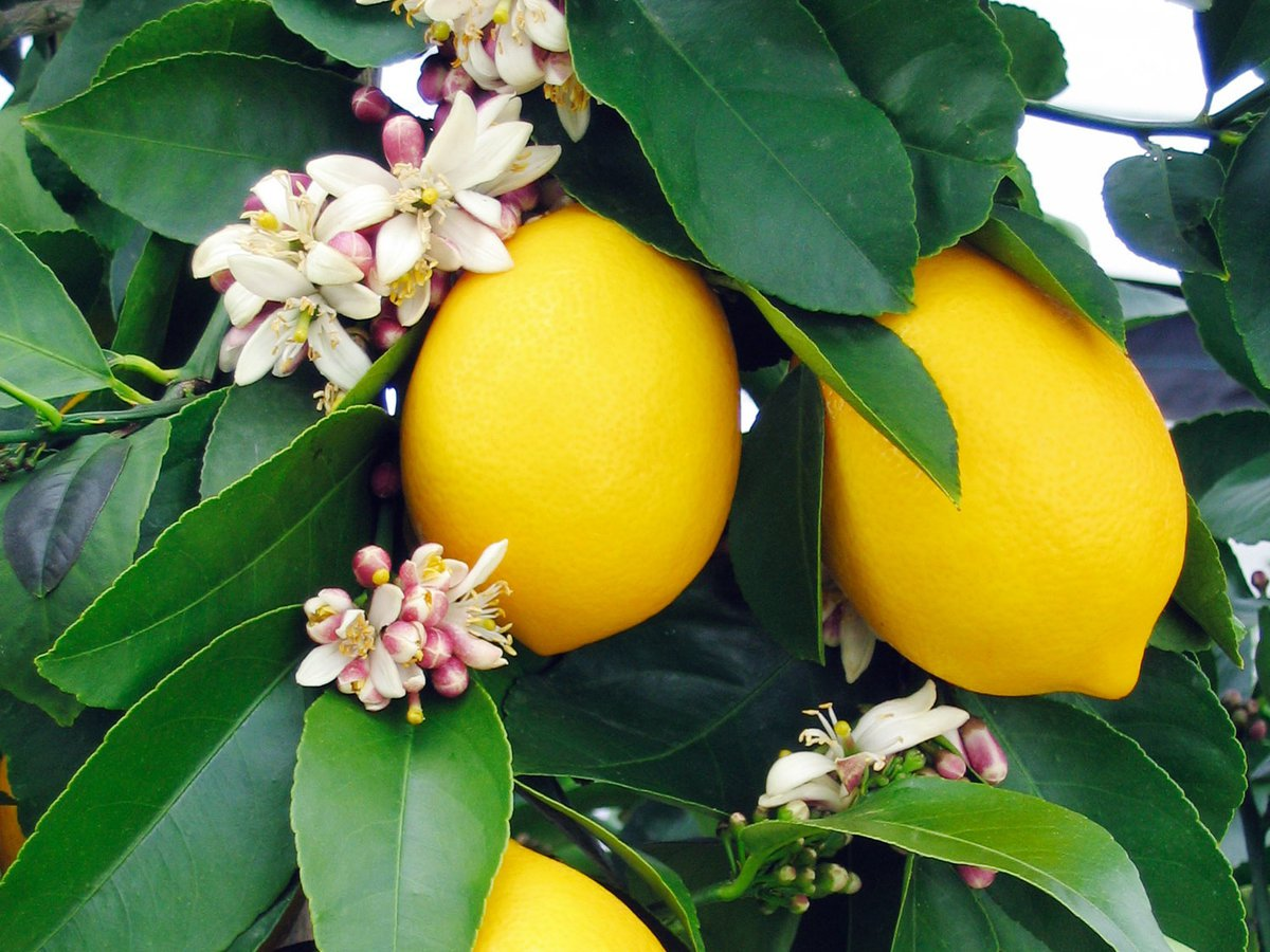 lemon tree Egypt