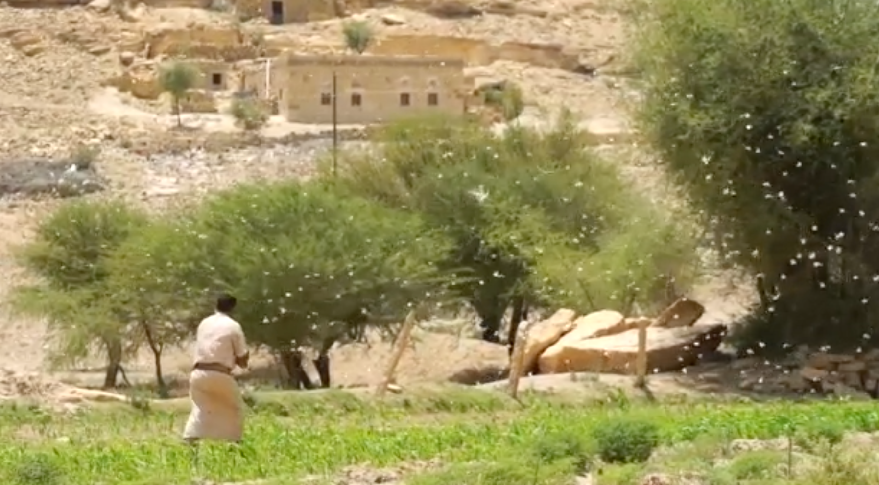 shooing away locusts in yemen