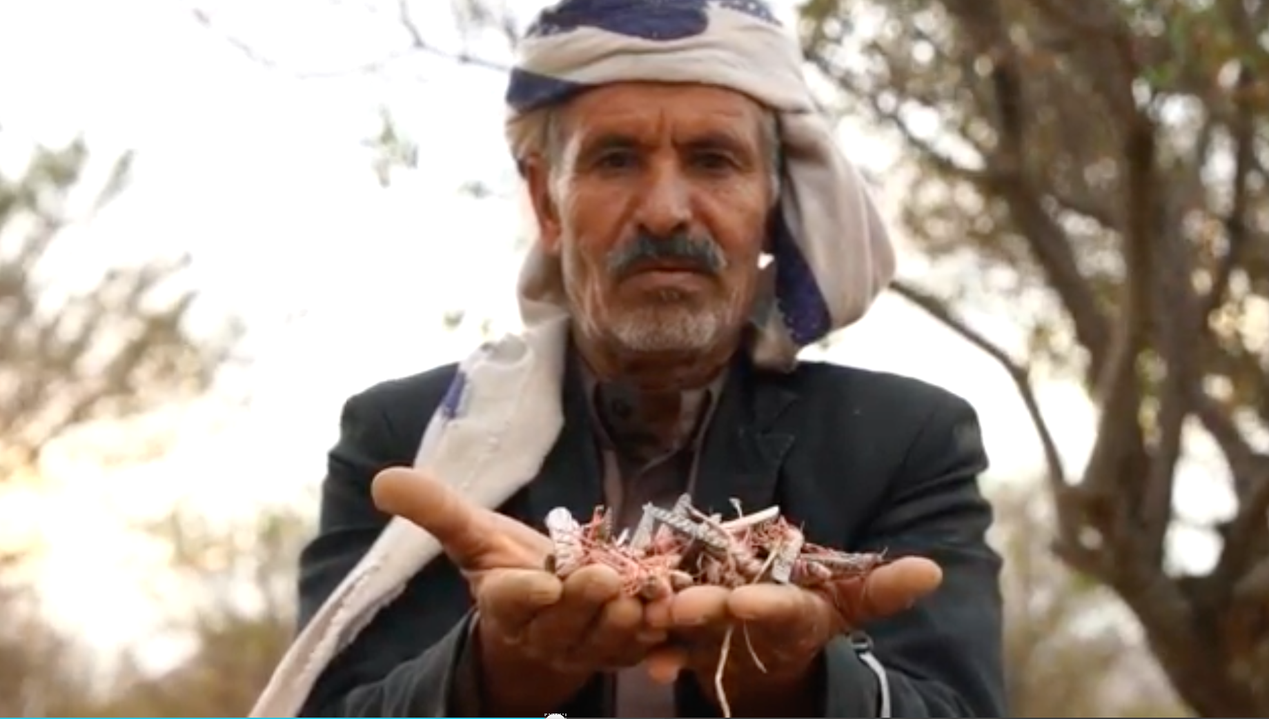 locusts in Yemen