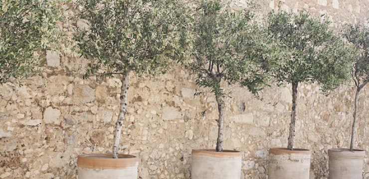 olive-trees-in-pots.jpg