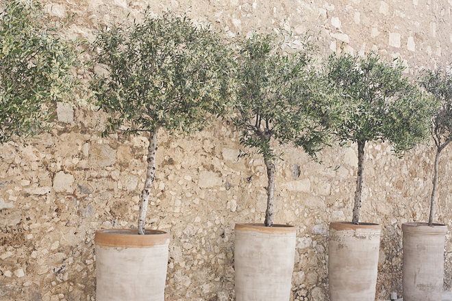 how to grow an olive tree in a container green prophet