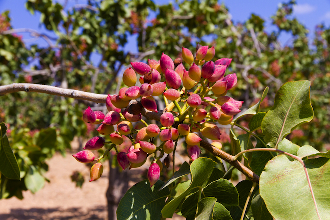 "Pistachios could power an entire new ""eco-city"" in Turkey"