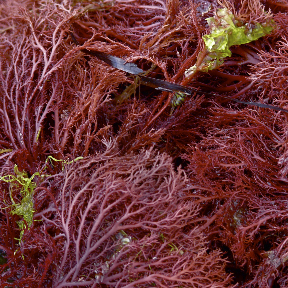 red algae seaweed morocco