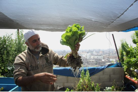 hydroponic roof farm in Gaza