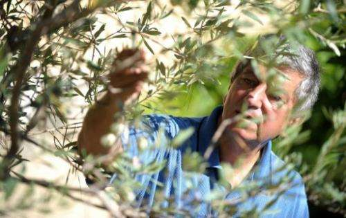 sam cremona, white olive looking at white olive tree in Malta
