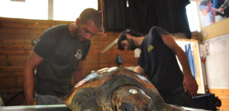 sea-turtle-rescue-israel.jpg