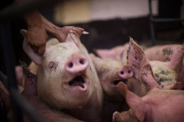 Drones show how pigs get a raw deal in factory farms