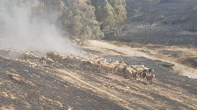 sheep flee fire Israeli nature reserve