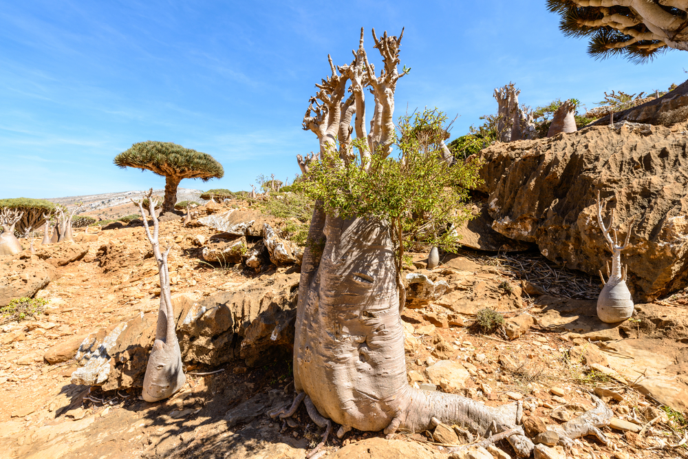 socotra-tree-yemen-dragon