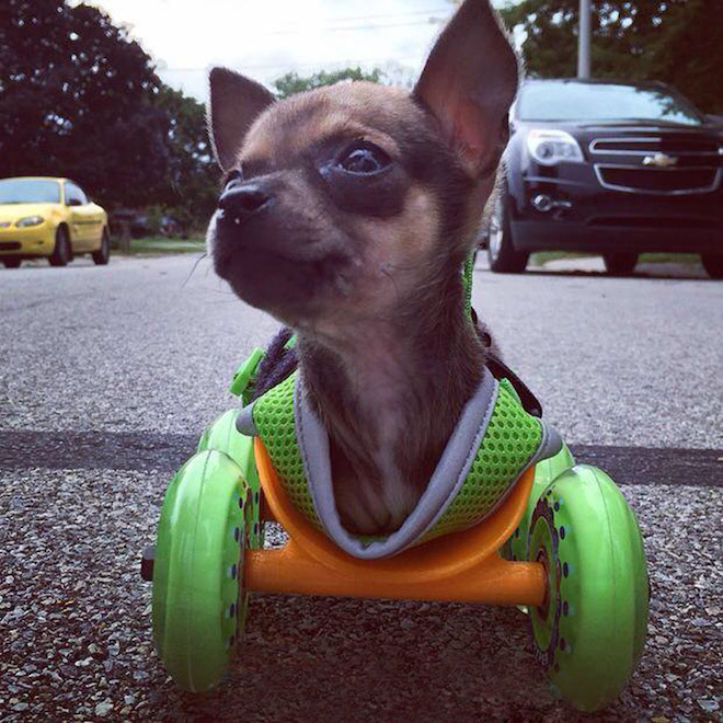 Turbo.roo, 3D-printed wheelchair, 3D-printing, Makerbot, 3dyn, chihuahua, animal welfare, animal rights, cleantech, social design,