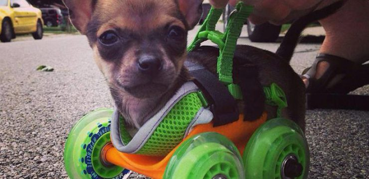 turboroo-3D-printed-wheel-chair-chihuahua-3.jpg