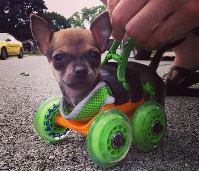 Turboo the chihuahua puppy s a 3D printed wheelchair