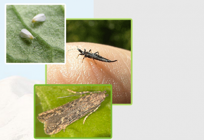 white-flies-thrips-bugs-agtech