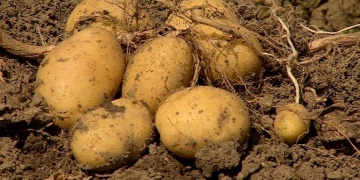 Solving world hunger with hybrid potatoes