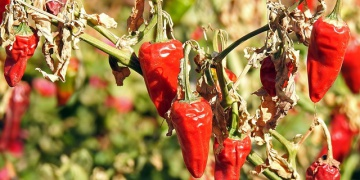 Missing Aleppo Peppers
