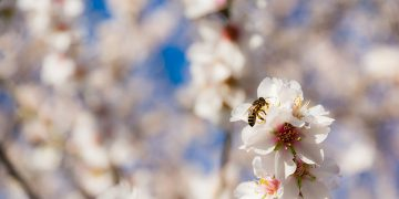Almond Milk And The Destruction of Bees